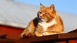 Фотографии Коты Рыжий Животные