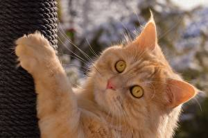 Картинка Кошки Рыжий Смотрит Лапы