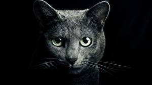 Фото Коты Смотрит Черный фон Морда Животные