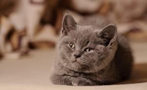 Обои Коты Серый Смотрит Котята Миленькие
