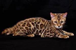 Картинки Кошки Бенгальская кошка Черный фон Животные