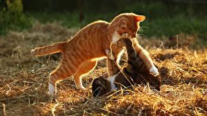 Фото Коты 2 Рыжий Сено Животные