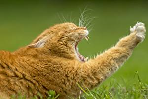 Картинки Кошки Зевает Лапы Рыжий Животные