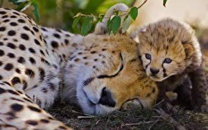 Картинки Гепарды Детеныши Спит Вдвоем Животные