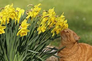 Обои Нарциссы Кошки Нюхает Животные Цветы картинки