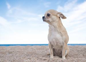 Картинки Собаки Чихуахуа Сидящие Песок Смотрит Животные