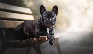 Фото Собака Французский бульдог Скамейка Черная Животные
