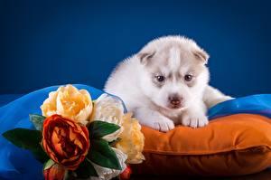 Картинка Собаки Хаски Щенок Белый Животные