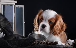 Картинки Собаки Щенок Кинг чарльз спаниель