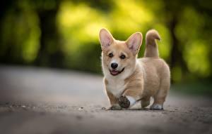 Фотографии Собака Вельш-корги Щенков Животные