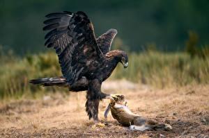 Фотографии Орлы Птицы Зайцы Охота Животные