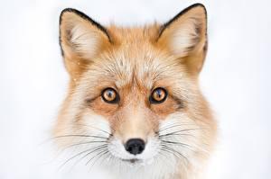 Фотография Лисица Голова Взгляд Морды Усы Вибриссы животное