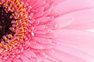 Картинки Герберы Макросъёмка Вблизи Розовый Цветы