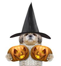 Фотографии Праздники Хеллоуин Тыква Собаки Шляпа Белый фон
