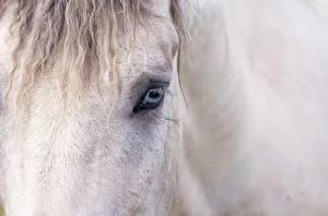 Фотография Лошади Крупным планом Глаза Морда животное