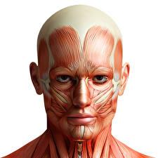 Картинки Голова Мускулы Белый фон Human Anatomy