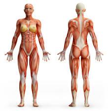 Фотография Белый фон Мышцы Human Anatomy