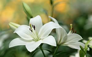 Фото Лилии Вблизи Белый Цветы