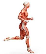 Фото Мужчины Мускулы Бег Белый фон Human Anatomy