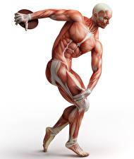 Фотографии Мужчины Мускулы Белый фон Human Anatomy