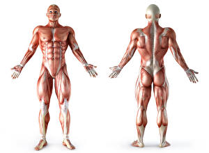 Фотография Мужчины Мускулы Белый фон Human Anatomy