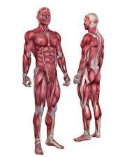Фото Мужчины Мышцы Белый фон Human Anatomy