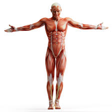 Обои Мужчины Мышцы Белый фон Human Anatomy