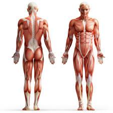 Обои Мужчины Белый фон Мышцы Human Anatomy