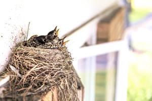 Фотография Птенцы Птицы Гнездо Животные