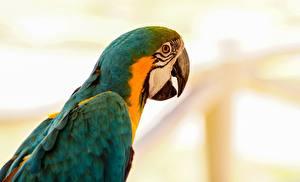 Обои Попугаи Птицы Ара (род) Крупным планом Животные картинки