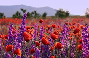 Фото Маки Луга Много цветок
