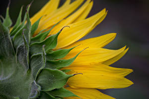 Фотография Подсолнухи Вблизи Цветы