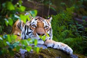 Обои Тигры Сибирский