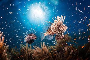 Обои для рабочего стола Подводный мир Рыбы Крылатка Животные