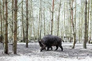 Картинка Дикая свинья Деревья Животные
