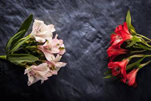 Фотографии Альстрёмерия Крупным планом Цветы