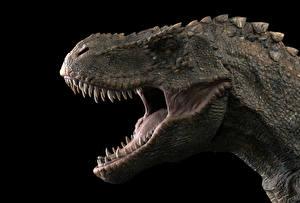 Картинка Древние животные Динозавры Тираннозавр рекс Оскал Зубы На черном фоне Головы животное