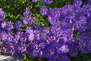 Фотография Астры Вблизи Фиолетовых цветок