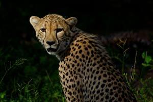 Фото Большие кошки Гепарды