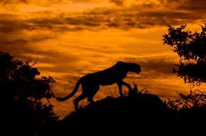 Обои Большие кошки Гепарды Силуэт Животные
