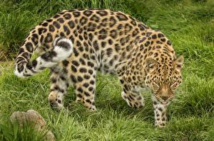Картинка Большие кошки Леопарды