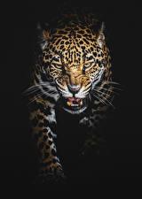 Фотография Большие кошки Леопарды На черном фоне Хмурость Усы Вибриссы Животные