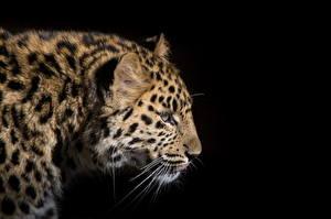 Фотографии Большие кошки Леопарды Черный фон Усы Вибриссы животное