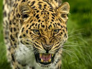 Фотографии Большие кошки Леопарды Клыки Злость Усы Вибриссы Животные