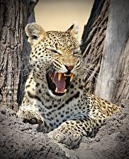 Фото Большие кошки Леопард Клыки Оскал Усы Вибриссы Животные