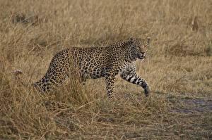 Обои Большие кошки Леопарды Трава