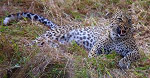 Картинки Большие кошки Леопарды Оскал
