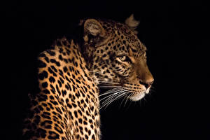 Картинка Большие кошки Леопарды Усы Вибриссы Черный фон
