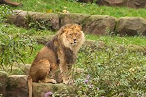 Фотографии Большие кошки Львы Сидит Смотрит