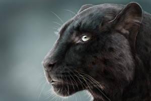 Картинка Большие кошки Пантера Рисованные Голова Усы Вибриссы животное